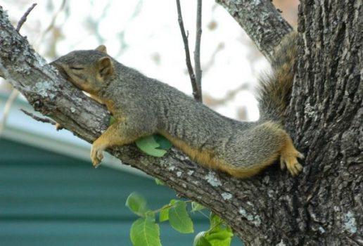 sleeping_squirrel_7